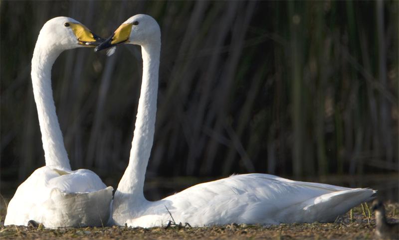 лебеди на Балхаше