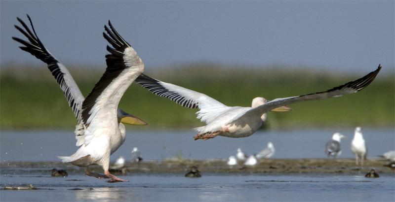 пеликаны на Балхаше