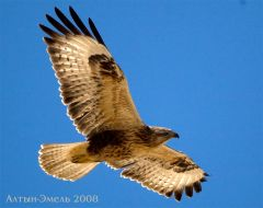 Орёл в Алтын-Эмеле