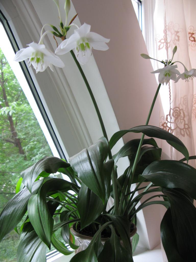 Цветок лилия  комнатная