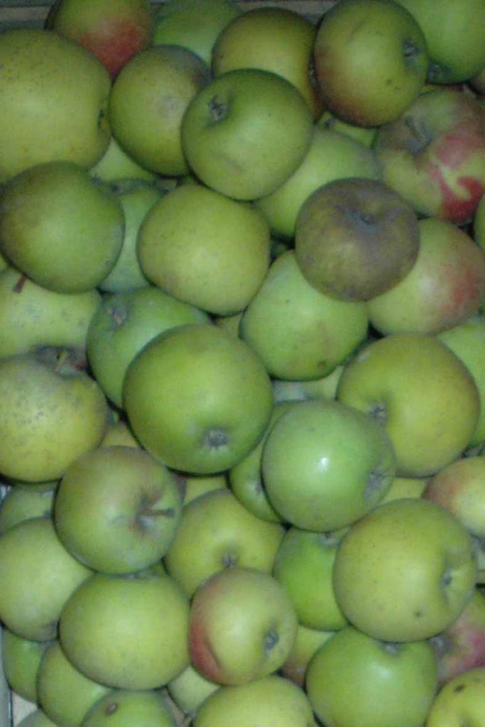 Описание с фото яблони заря алатау