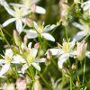 семейство Гвоздичные Caryophyllaceae, род качим - Gypsophila