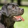 Лабрадора ретривера шоколадные щенки - последнее сообщение от ARDNUT