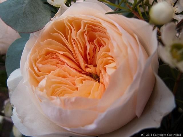 роза Дэвида Остина