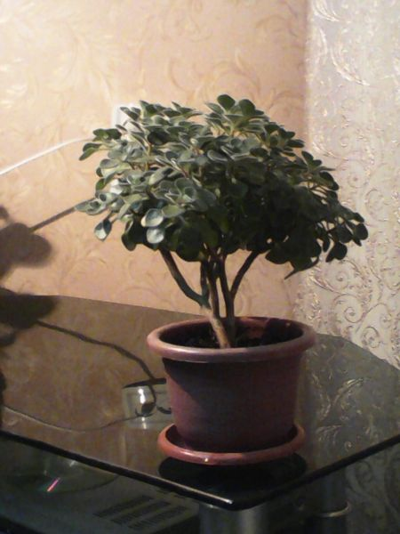Аихризон, или «дерево любви»