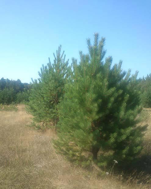 Новог елка.1