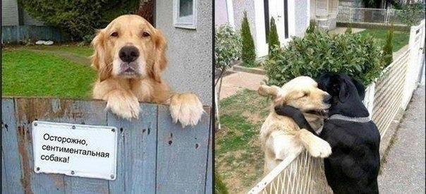 Сентиментальная собака