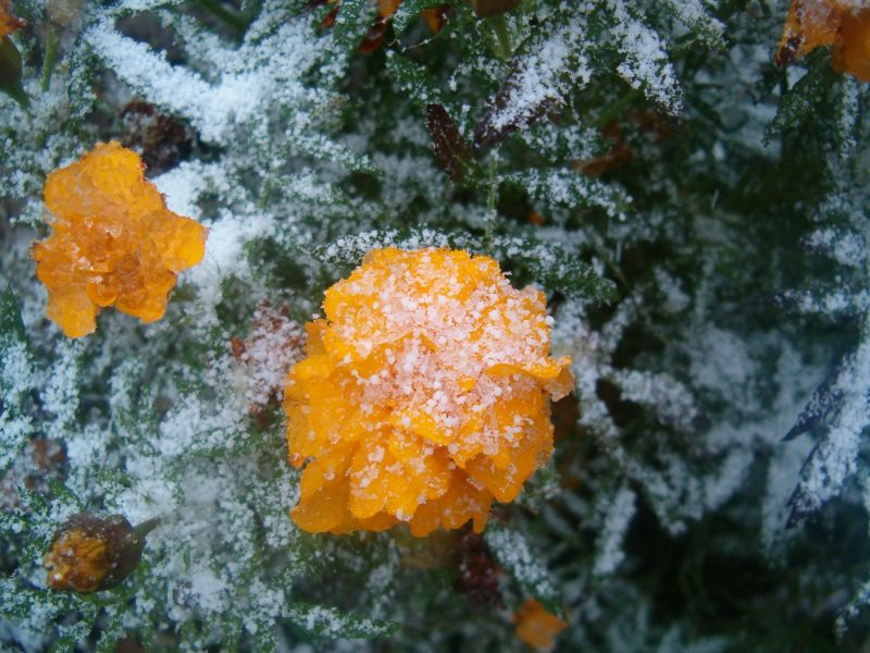Бархатцы в снегу