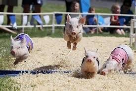 pigs run