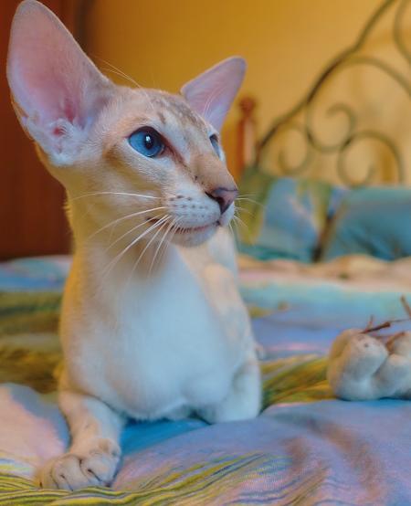 ориентальный сиамский кот 2