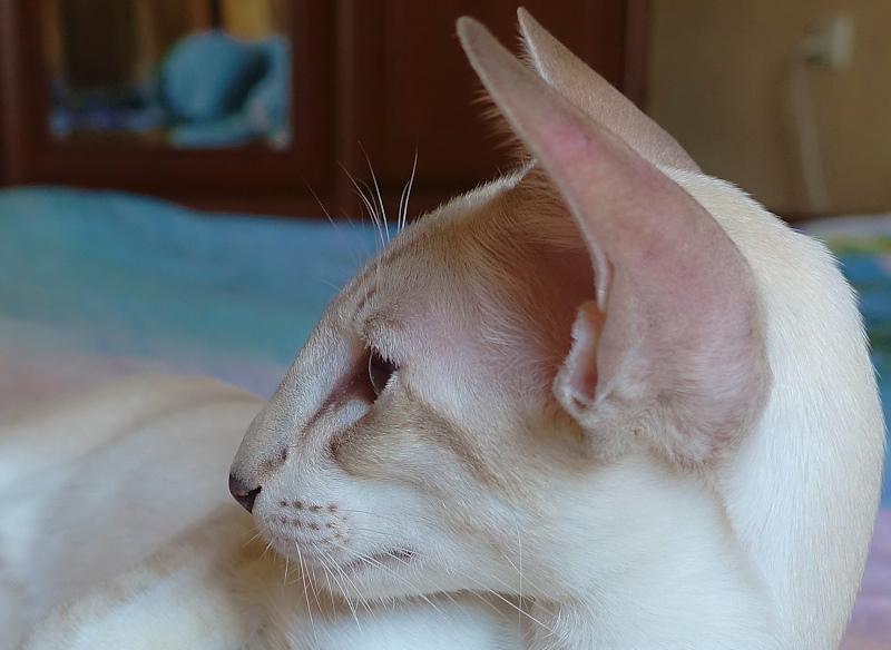 ориентальный сиамский кот 5