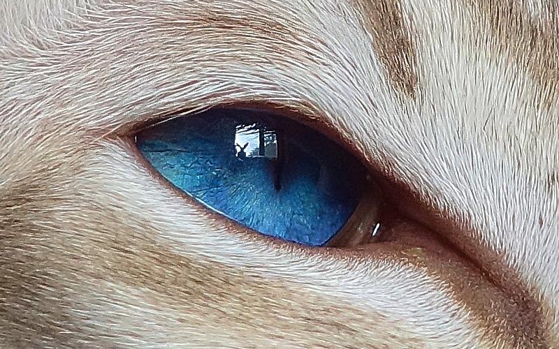 ориентальный сиамский кот 18