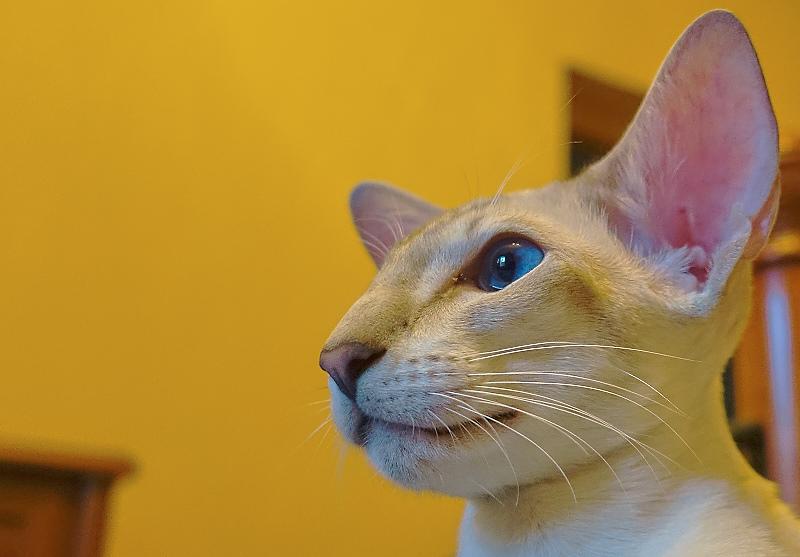 ориентальный сиамский кот 3
