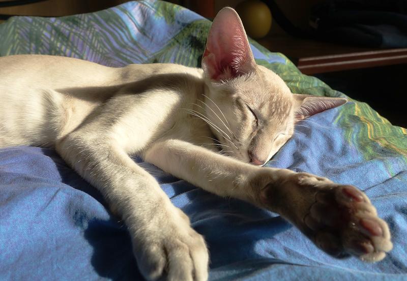 ориентальный сиамский кот 16