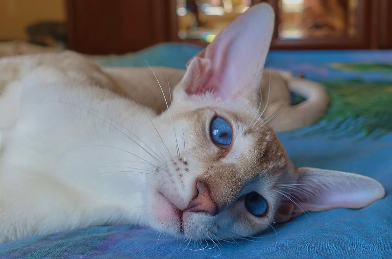 ориентальный сиамский кот 6
