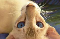 ориентальный сиамский кот 21