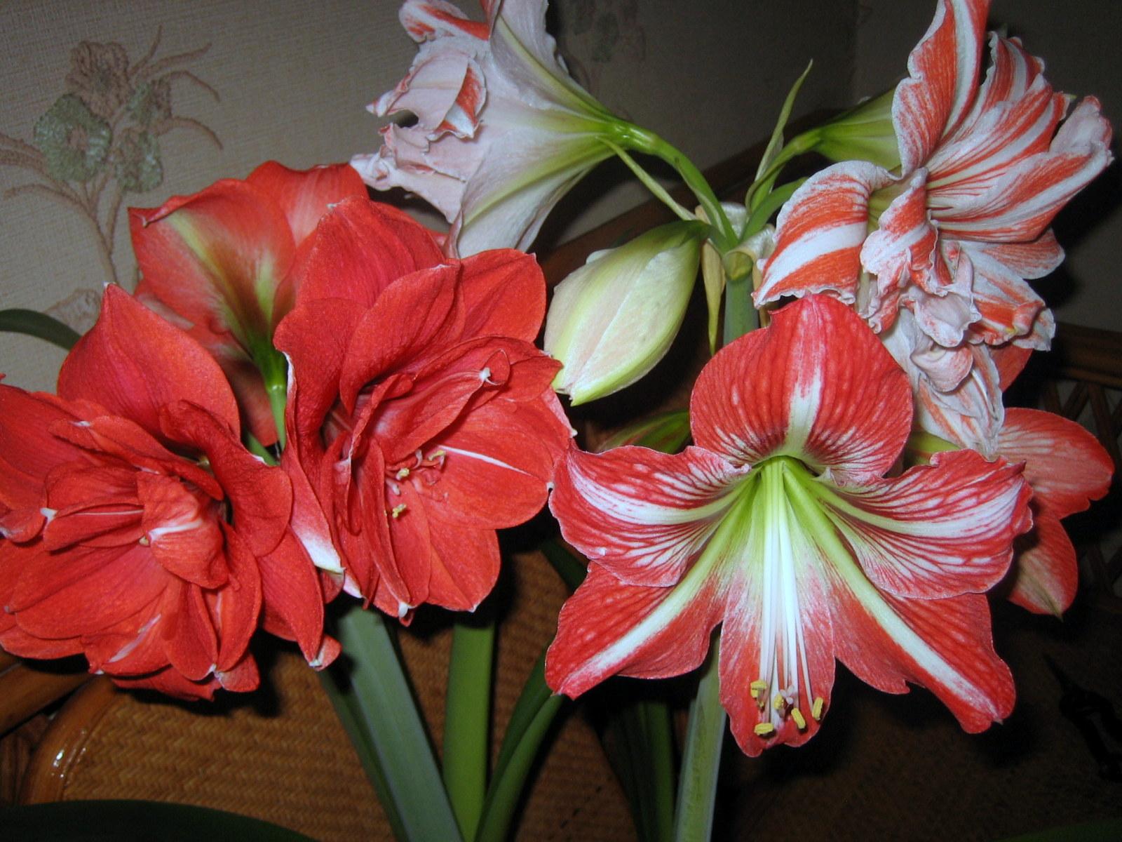 Комнатные клубневые растения