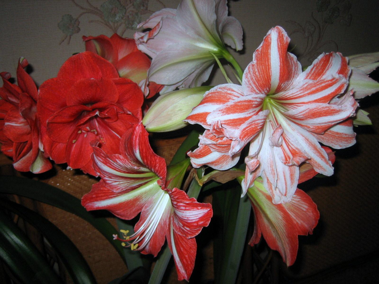 Домашние цветы из луковиц фото