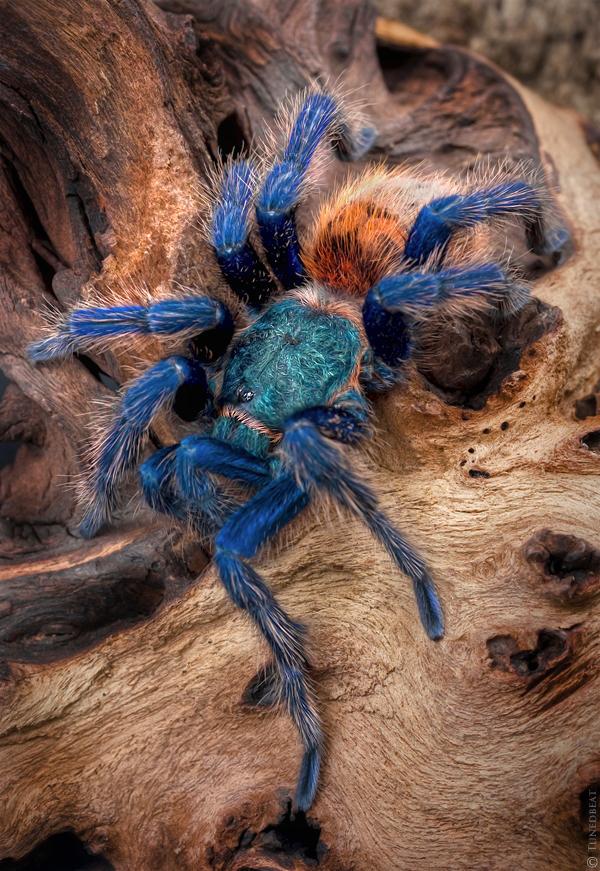 Blue tarantulas