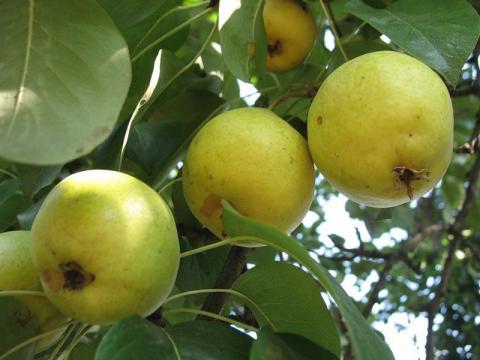 plody-limonki.jpg