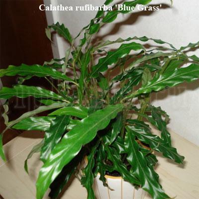 Calathea_rufibarba_Blue_Grass2.jpg