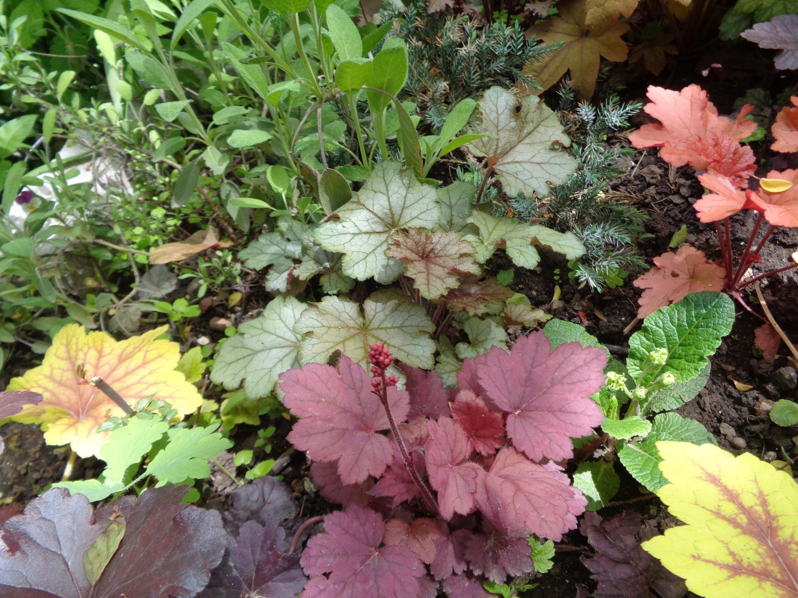 Садовые цветы гейхера фото