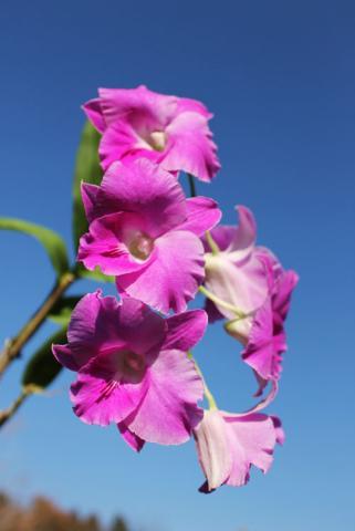 Dendrobium Lady Pink x King Dragon.jpg