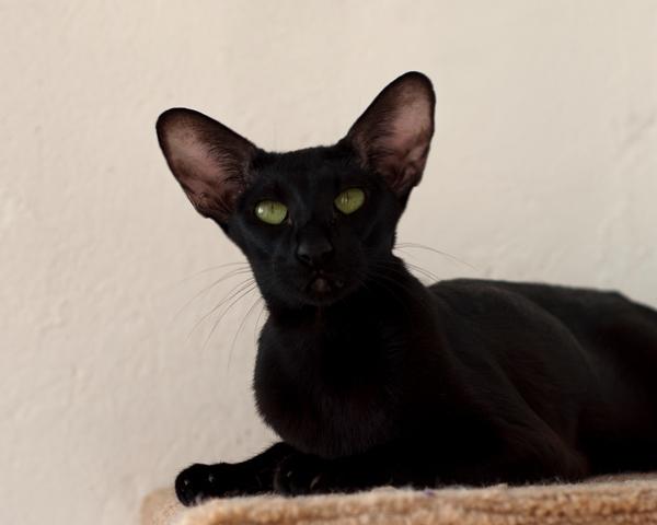 Картинки ориентальных кошек эбони