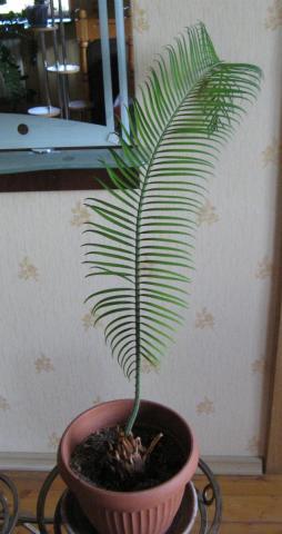 Пальма   .jpg
