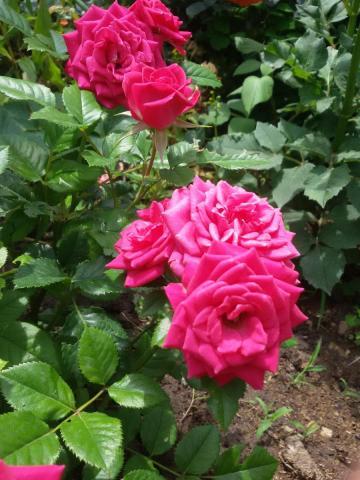 Роза (201).jpg