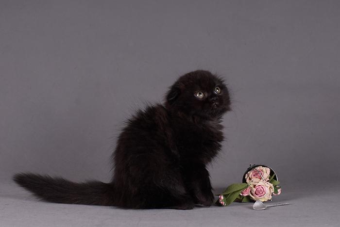 Шотландские Вислоухие Котята  Cattery Scottish cats Laoni