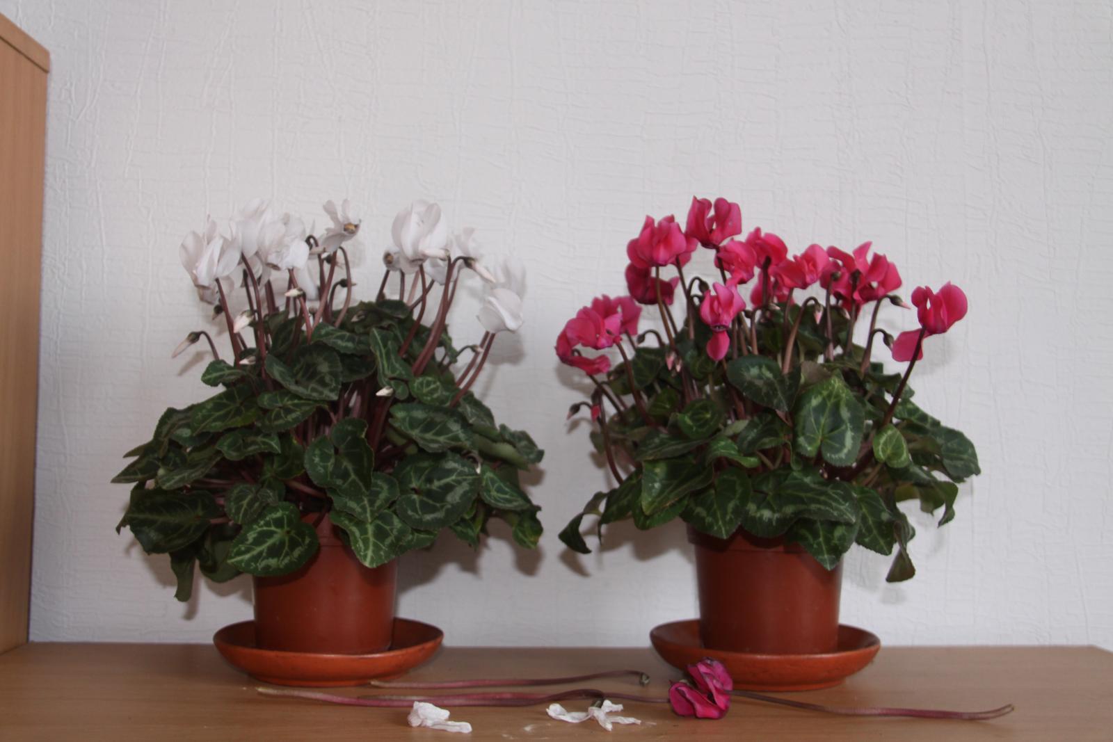 Цикламен уход в домашних условиях фото размножение