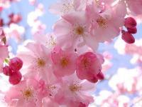 Фотография Вишневый ягод