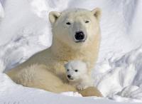 Фотография polar bear