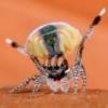 Паук-птицеед Cyclosternum fasciatum, L8 - последнее сообщение от Umbra1
