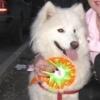 Щенки Самоедской собаки - последнее сообщение от alexsa008
